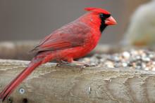 Cardinal Closeup On Bird Feeder