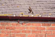 Parent Swallow Feeding Fledgli...