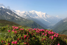 Mont Blanc Et Rhododendrons