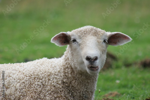 Photo goofy sheep