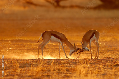 Poster Antilope fighting springbuck