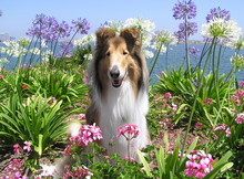 Rough Collie In Flowers