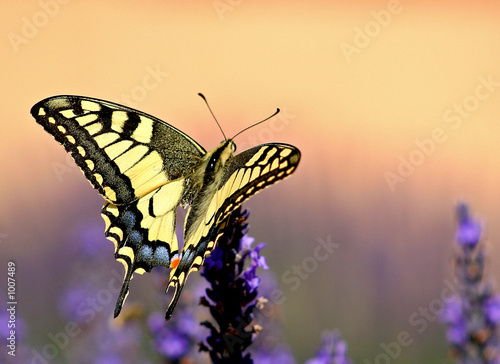 Foto auf Leinwand Lavendel machaon sur fond orange
