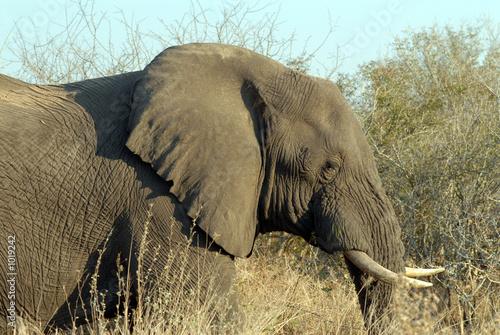 Wall Murals Elephant éléphant-elephant