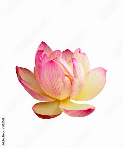 Papiers peints Fleur de lotus lotus