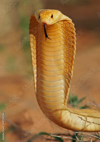 Fotografía  cape cobra