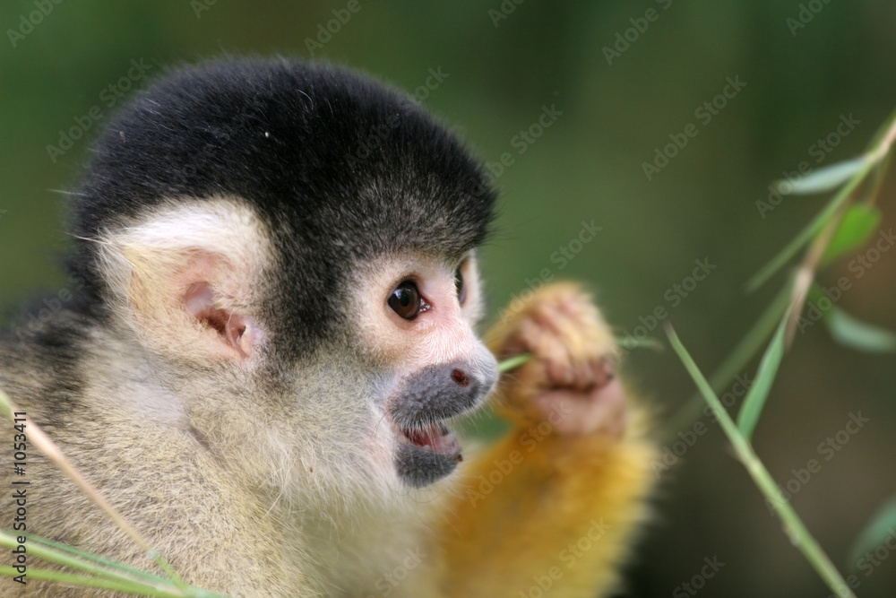 Photo  squirrel monkey eating