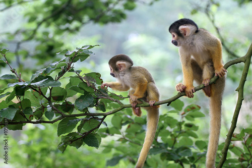 two baby squirrelmonkey out on adventure Wallpaper Mural