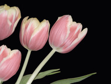 4 Pink Tulips