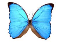 Iridescent Blue Butterfly (morpho Menelaus)