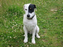 Parson Russell Terrier 01