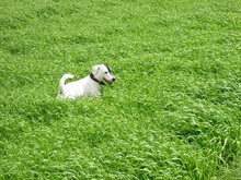 Parson Russell Terrier 05