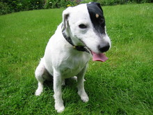Parson Russell Terrier 06