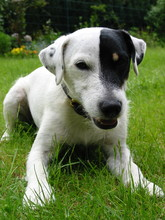 Parson Russell Terrier 08