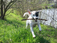 Parson Russell Terrier 09