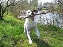 Parson Russell Terrier 11