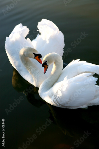 Poster Cygne two love swans