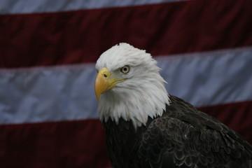 eagle,bird,animal,flag,attitude,homosassa springs,
