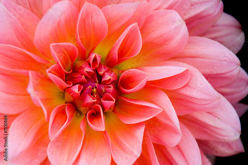 Garden Poster Dahlia dahlia