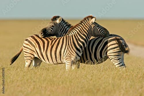 Canvas Prints Zebra plains zebras