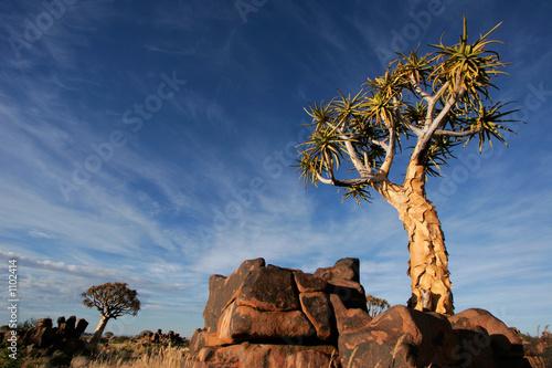 Foto op Aluminium Nachtblauw quiver tree landscape