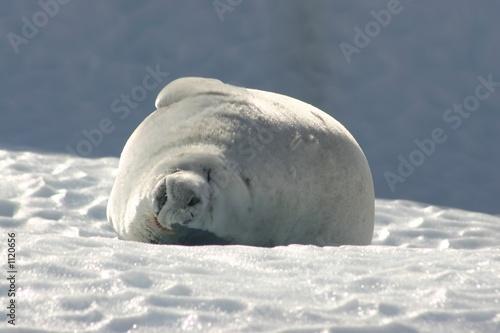 foca cangrejera