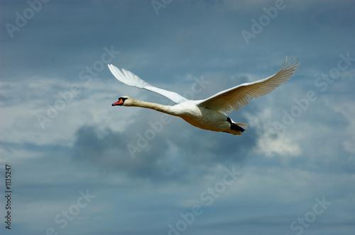 Poster Cygne schwan im flug