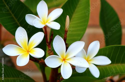 Foto-Duschvorhang - frangipani