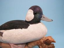 Bufflehead  Duck Decoy