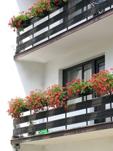 Red Blooming Geranium On Balcony