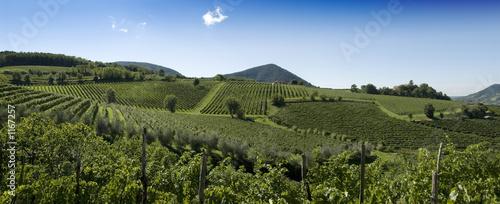 italian vineyards panorama