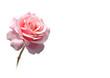 Leinwandbild Motiv rose freigestellt in rosa