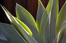Yucca In Dawn Light