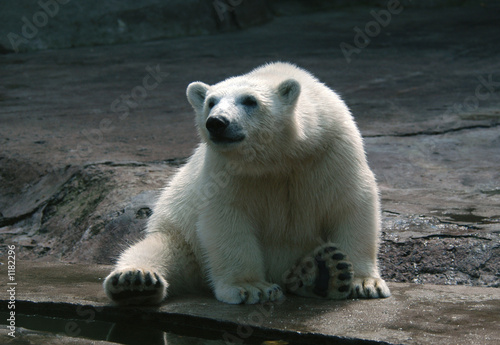 polar bear cub Canvas-taulu