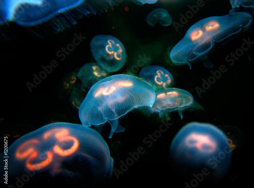 Fotografie, Obraz  jelly fish