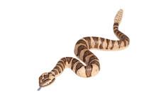 Rattlesnake Isolated On White ...