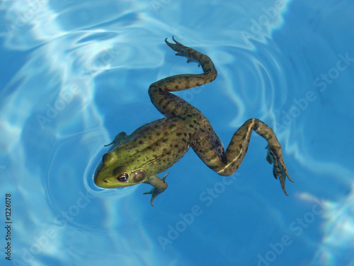 Tuinposter Kikker green frog in a pool