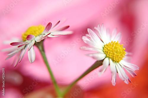 Foto-Lamellen - gänseblümchen auf pink