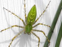 Green Lynx Spider (peucetia Vi...