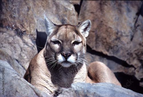 intent-cougar