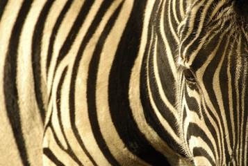 texturas de cebra
