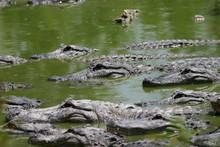 Alligators In Waiting
