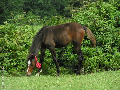 Fotografie, Obraz  young horse