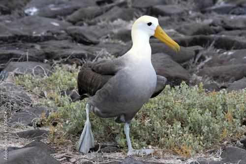 Obraz na plátně albatros des galapagos