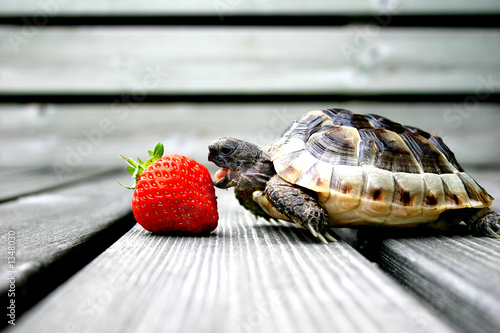 Poster Schildpad turtle eating strawberry