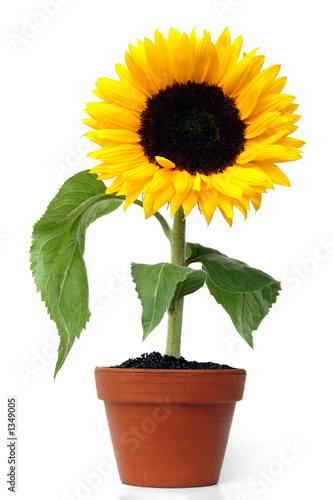 Keuken foto achterwand Zonnebloem sonnenblume im keramiktopf