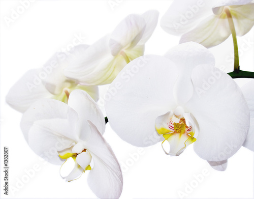 Poster Orchid white phalenopsis orchids