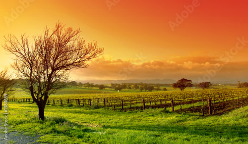 Photo sur Aluminium Vignoble vineyard landscape