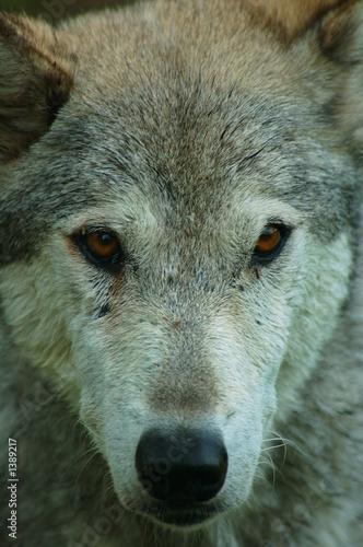 Canvas Prints Wolf portrait of a wolf