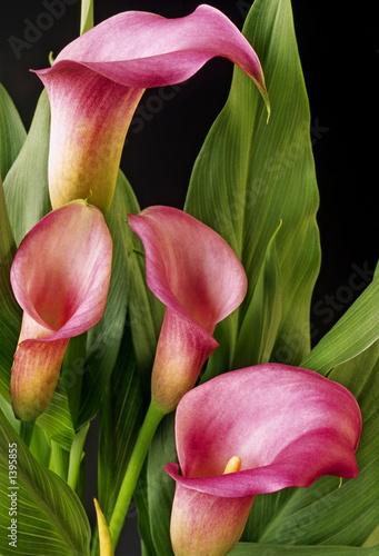 Fotografie, Obraz  pink calla lillies